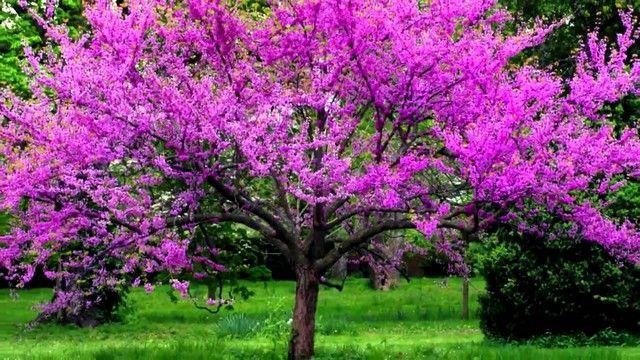 Small Trees To Plant Near House Flowering Trees Redbud Tree Trees To Plant