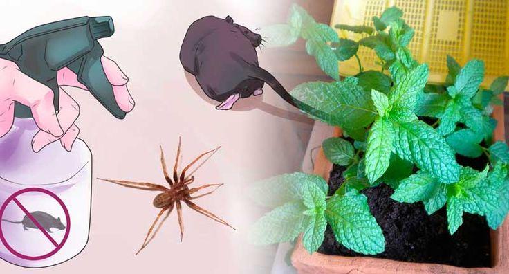Solo estas hojas en su casa y usted nunca volverá a ver ratones, arañas y otros insectos! Truco de generaciones