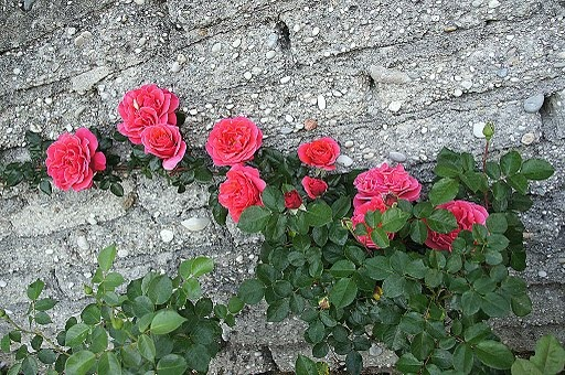 rosa trepadeira: Home, 575 395, Plants, Gardening, Flowers, Garden