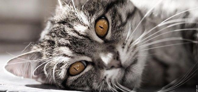 La FELV nel Gatto è una malattia virale diffusa nella popolazione felina, concentrata in determinate zone endemiche. Rimedi Cure Naturali FELV Gatto Omeopatia
