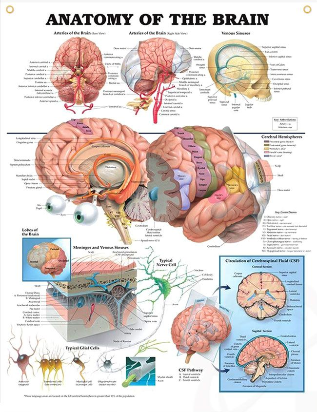 best 25+ the brain ideas on pinterest | brain anatomy and function, Human Body