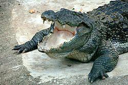 Mugger crocodile 2.JPG
