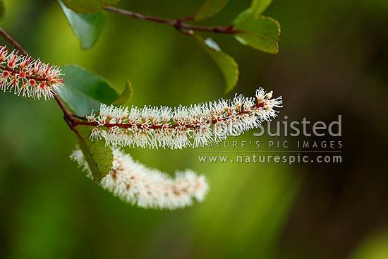 Kamahi tree flowering (Weinmannia racemosa); NZ native flower racemes, New Zealand (NZ) stock photo.