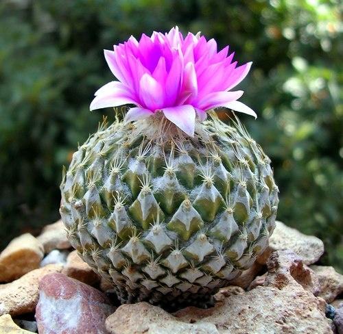 """Pelecyphora strobiliformis, originario de San Luis Potosí, también es llamado """"Peote meco"""" y contiene aproximadamente 15 alcaloides. Muy rara en colecciones."""