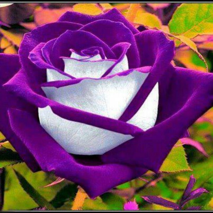 Hybrid rose if it were lavender and white it would be