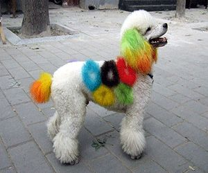 colorful fur dyeing and dog grooming