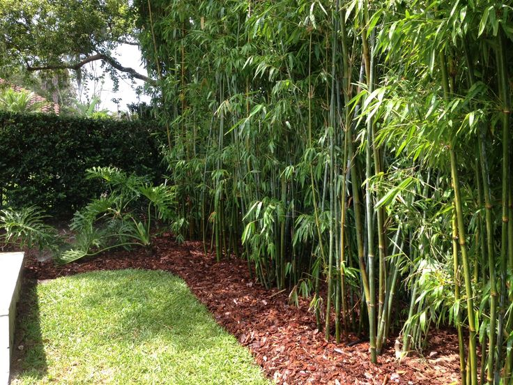 Bamboo hedge pool google search ideas for the yard for Bamboo garden designs