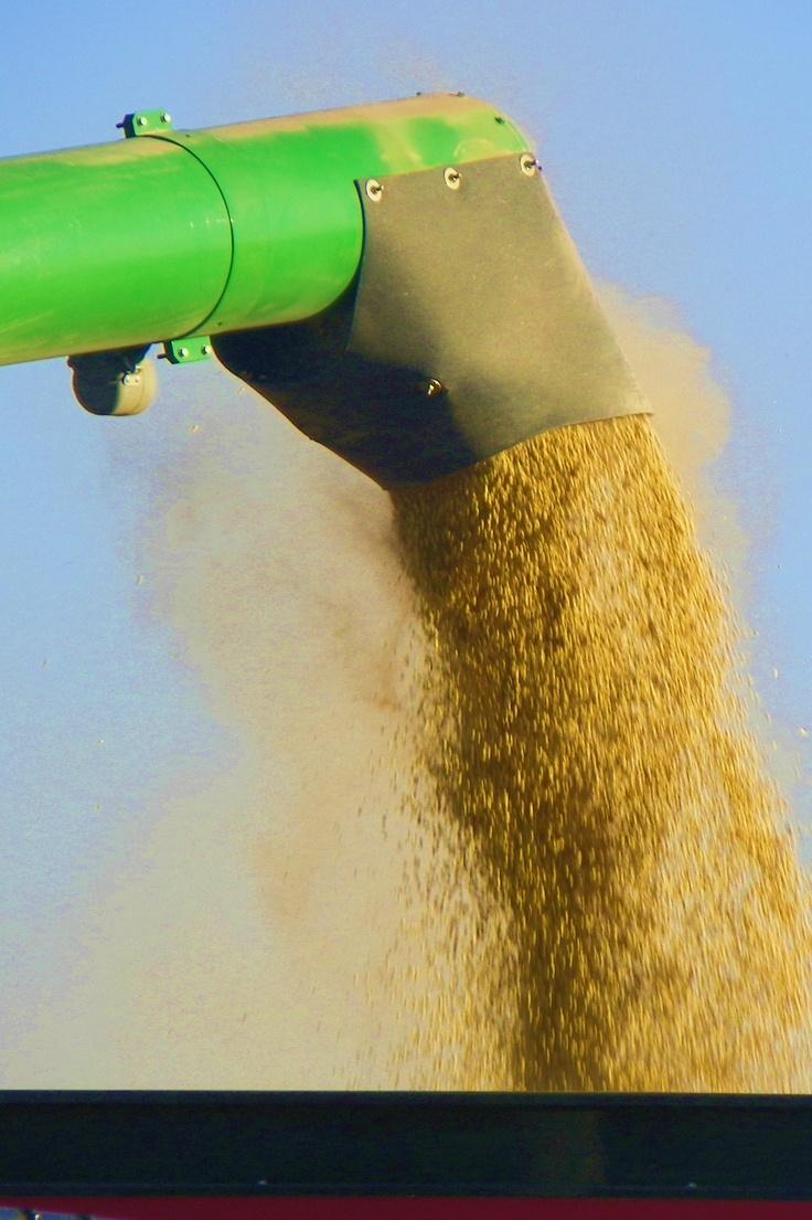 Iowa harvest: Harvest Farms, Iowa Soybean, Farms Thang, Farms Memories, Soybean Harvest, Farms Grains