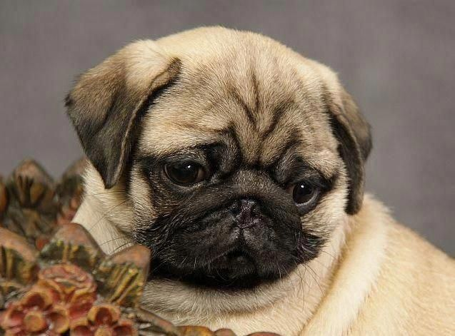 Figure Out Additional Information On Pug Dogs Visit Our Internet Site In 2020 Pug Puppies Cute Pug Puppies Cute Pugs