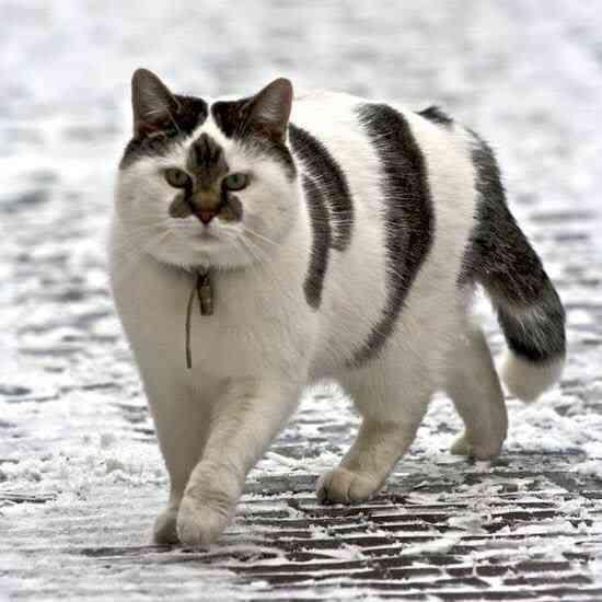 【またもや遺伝子さん頑張りすぎ!!Σ(゚Д゚)】 あっと驚く変な模様の猫画像40選♪ - ペット日和