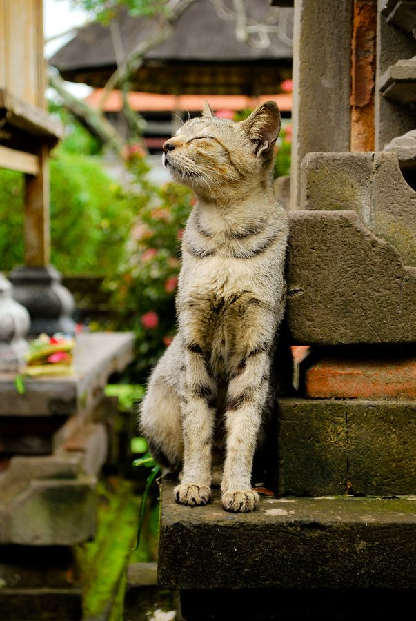 Contented cat is contented.  Taken at the Taman Ayun Temple in Mengwi, Bali, Indonesia. By Daniel Kieron