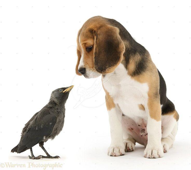 13 Best Beagles Images On Pinterest Beagle Puppy Beagle
