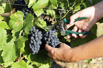 Italien har udsigt til dårligste høst siden 1950 - Italian Wine Club