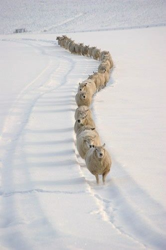 Sheep walking in old tire track in snow.