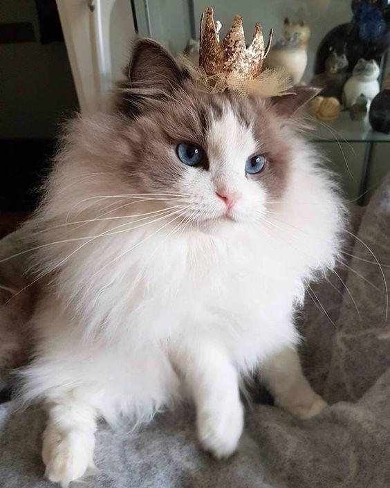 настоящих королева кошка картинки что моя