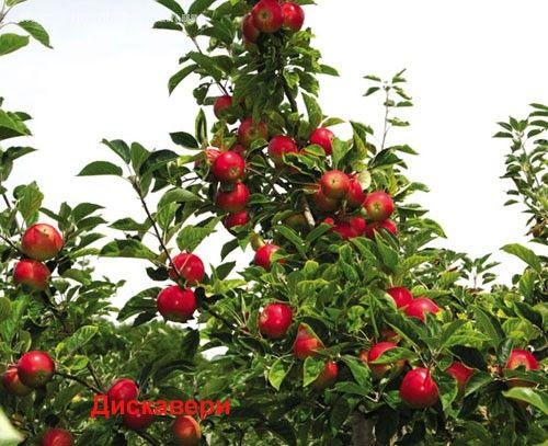 Урожайная дача - КАРЛИКОВЫЕ И ПОЛУКАРЛИКОВЫЕ ЯБЛОНИ и ГРУШИ
