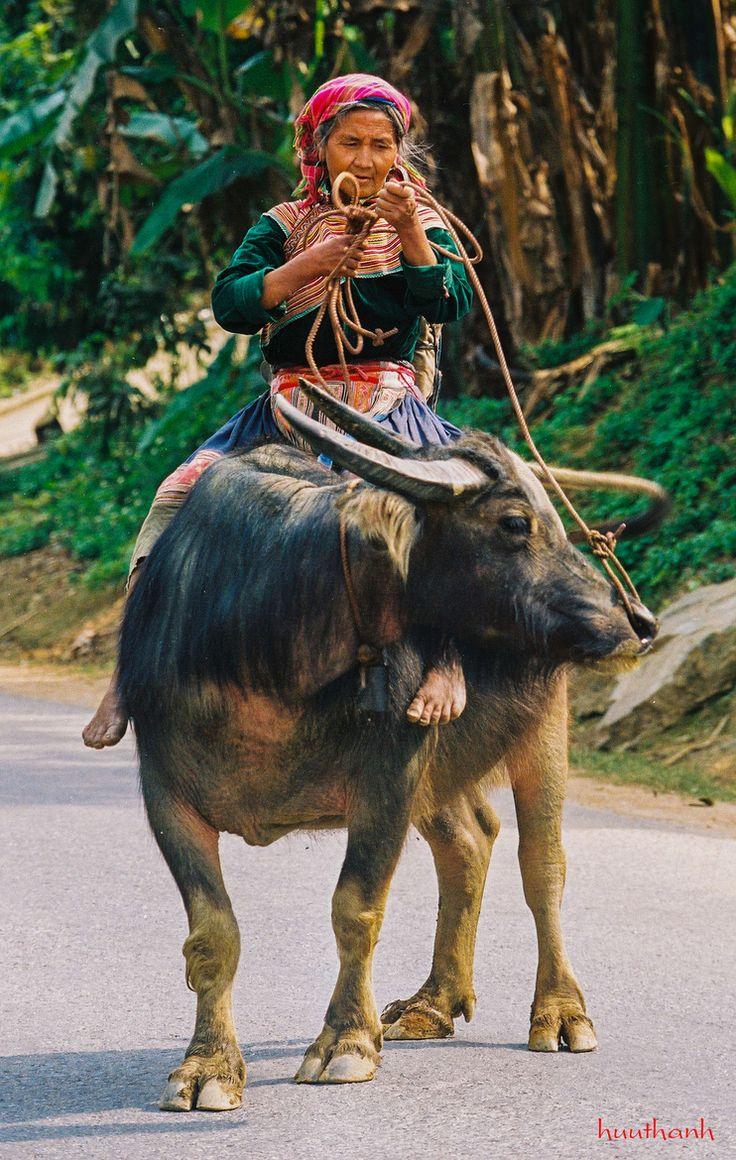 Hmong Woman & Buffalo, Vietnam---you can be cool but you'll never be grandma riding a water buffalo cool.