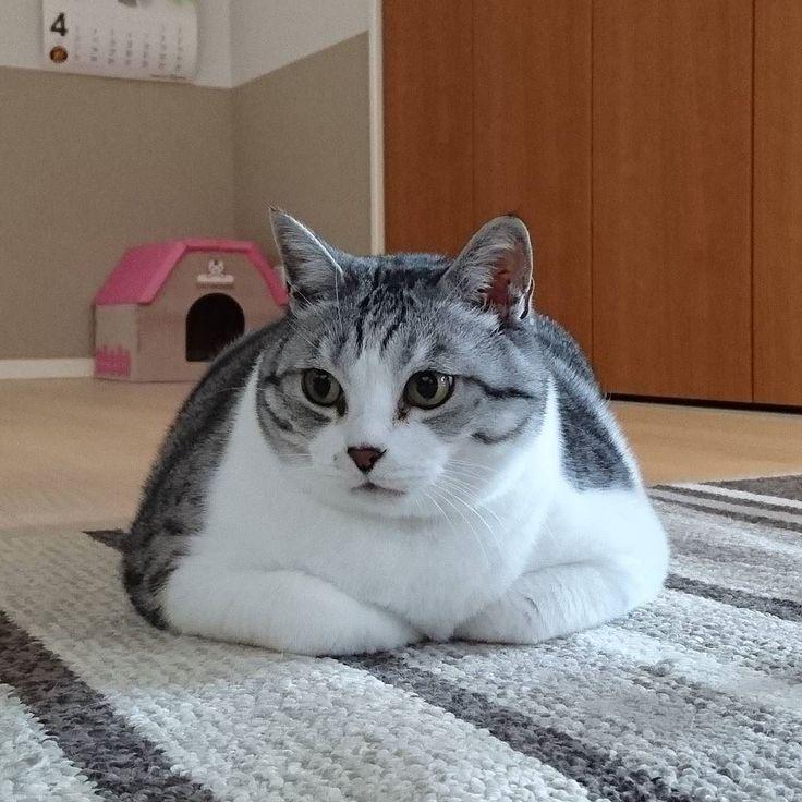 #猫#ねこらぶ#にゃび#猫バカ部#cat#ぎんちゃん#gin#cute#いつもの箱座り by yochigin