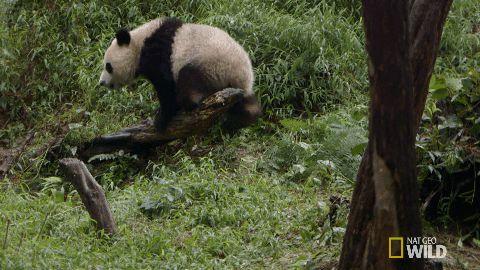 Giant Panda Information Gif #8101 - Funny Panda Gifs  Funny Gifs  Panda Gifs
