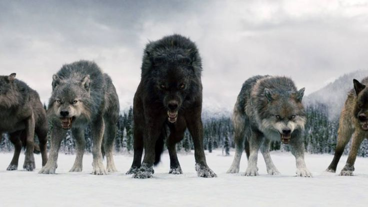 Werewolf Twilight Pack these wolves r fake.. ...