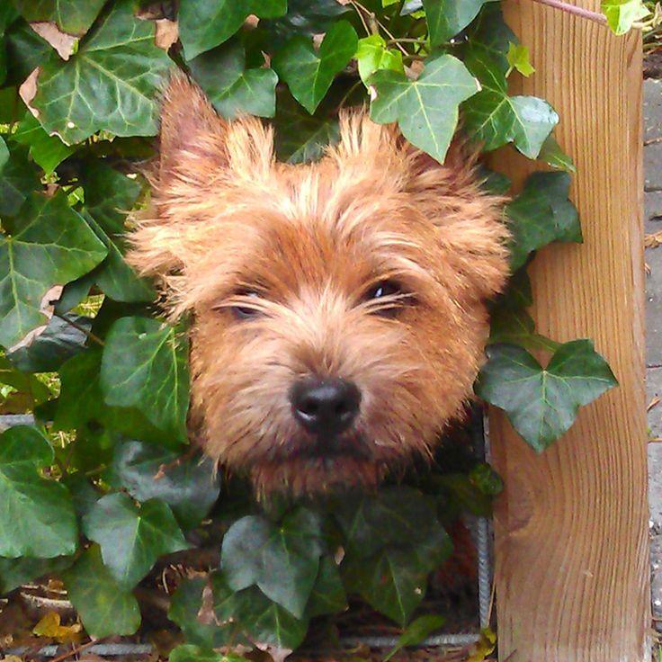 Calehill Cairn Terrier