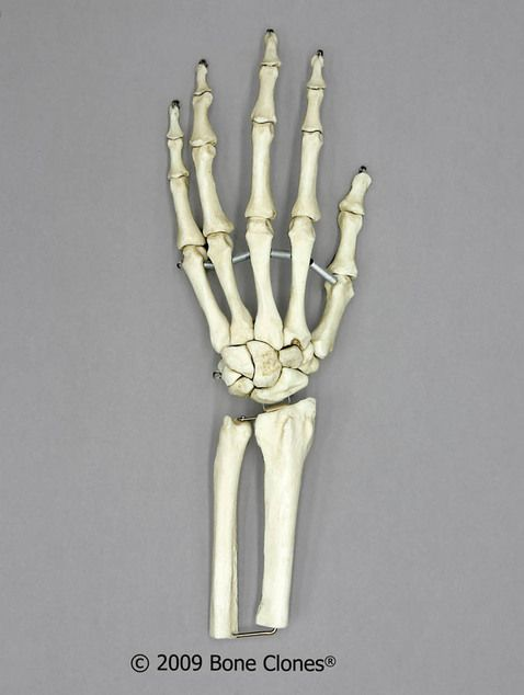 Human Hand Joint, Flexible (premium flexible hand, partial radius and ulna) - Bone Clones, Inc. - Osteological Reproductions