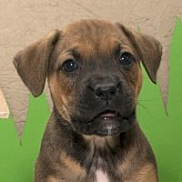 Troy, Ohio - Boxer. Meet Little Miss, a puppy for adoption. https://www.adoptapet.com/pet/20709254-troy-ohio-boxer-mix