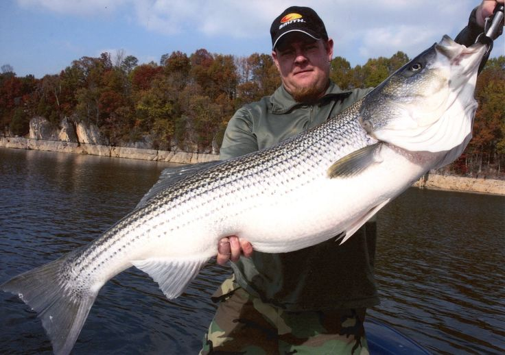 Big freshwater stripers umbrella rigs and live bait for for Fishing for striped bass