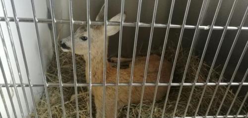 Liguria: #Cucciolo di #daino ferito sulle corsie dellA10 salvato dalla polizia stradale   (link: http://ift.tt/2cIR8Ou )