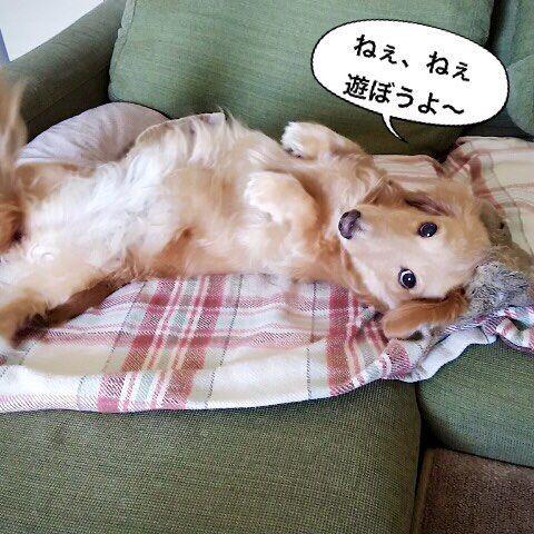 ソファから私を誘惑するうーちゃん😂ソファにおいでよ〜一緒にごろんして遊ぼうよ〜♬ あ〜だめだめ〜🙂ママは仕事行かないといけないのよ〜💦ソファに座るともう動けなくなる〜💦 #ミニチュアダックス #ミニチュアダックス倶楽部 #ミニチュアダックスフンド #ミニチュアダックス大好き #ダックス #ダックス倶楽部 #愛犬 #犬は家族 #犬との暮らし #犬との生活 #犬との日々 #犬らぶ #犬らぶ部 #犬ばか #犬ばか部  #いぬは家族 #みにちゅあだっくす #みにちゅあだっくすふんど #短足部 #minichuaducks #instadog  #ilovemydog #癒しわんこ #たんそく部  #今日のわんこ #今日のダックスフンド #minichuadachshund  #minichuadachs  #ミニチュアダックスクリーム