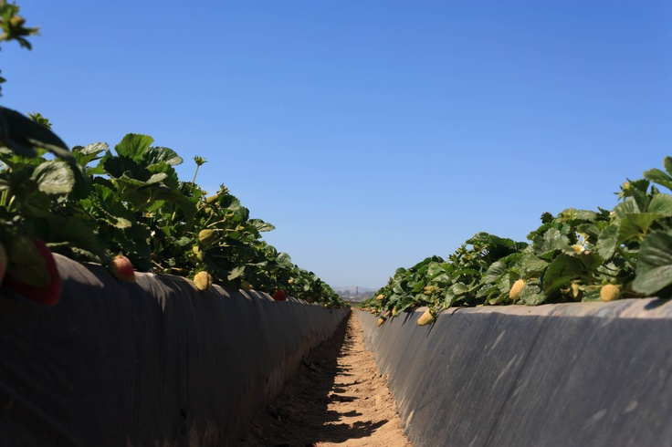 Rows and Rows of Strawberries.