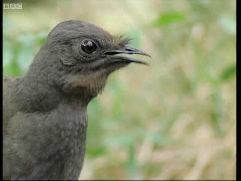 Lyrebird--imitates camera, car alarm, and more.