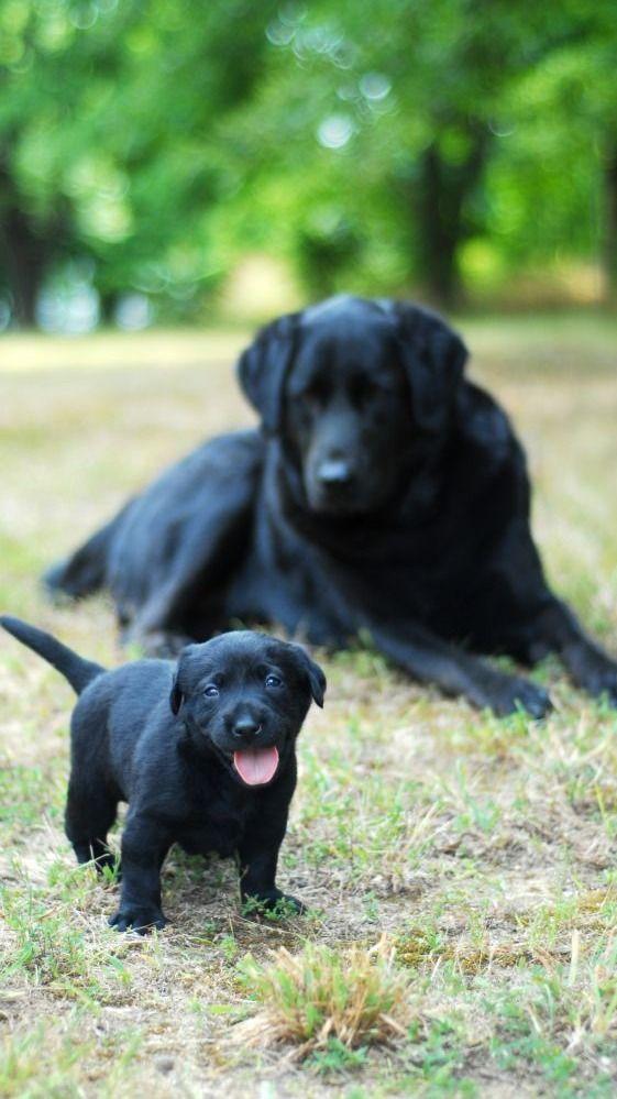 Best Lab Black Adorable Dog - 1ad6d5d4cb0b055434b527069004dd48--black-labrador-puppies-black-labs-dogs  Gallery_589012  .jpg
