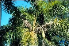 Manganese deficiency on Roystonea regia (Cuban royal palm).