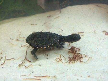 longneck and shortneck turtles for sale