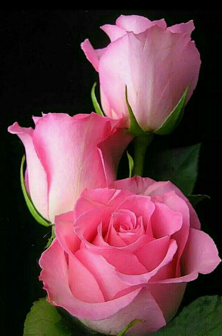 125 best Roses images on Pinterest | Flowers garden, Roses and ...
