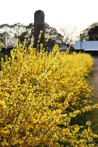 Forsythia is a must. Perfect for spring!Ears Spring, Gardens Ideas, Unskinny Boppy, Beautiful Flower, Forsythia Perfect, Beautiful Places, Flower Gardens, Flower Colors, Forsythia Riot