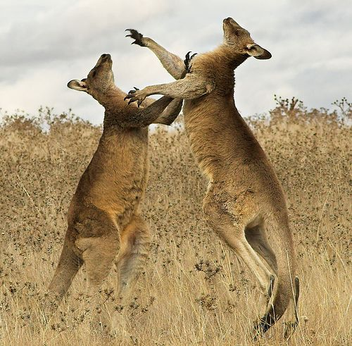 Kangaroos+In+Australia | United, We Love You!: Kangaroo Facts
