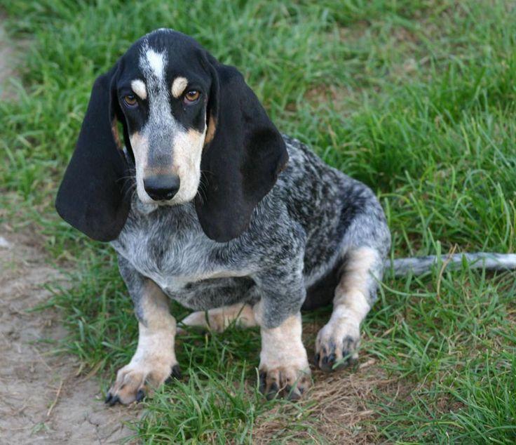 Suficiente 15 best  Basset Bleu de Gascogne Dogs  images on Pinterest  IH66