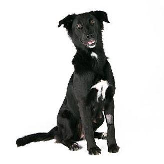 San Francisco, CA - Border Collie Mix. Meet Jasmine, a dog for adoption. http://www.adoptapet.com/pet/16993483-san-francisco-california-border-collie-mix