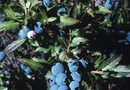 Can I Use Banana Peels as Fertilizer for Blueberry Bushes?