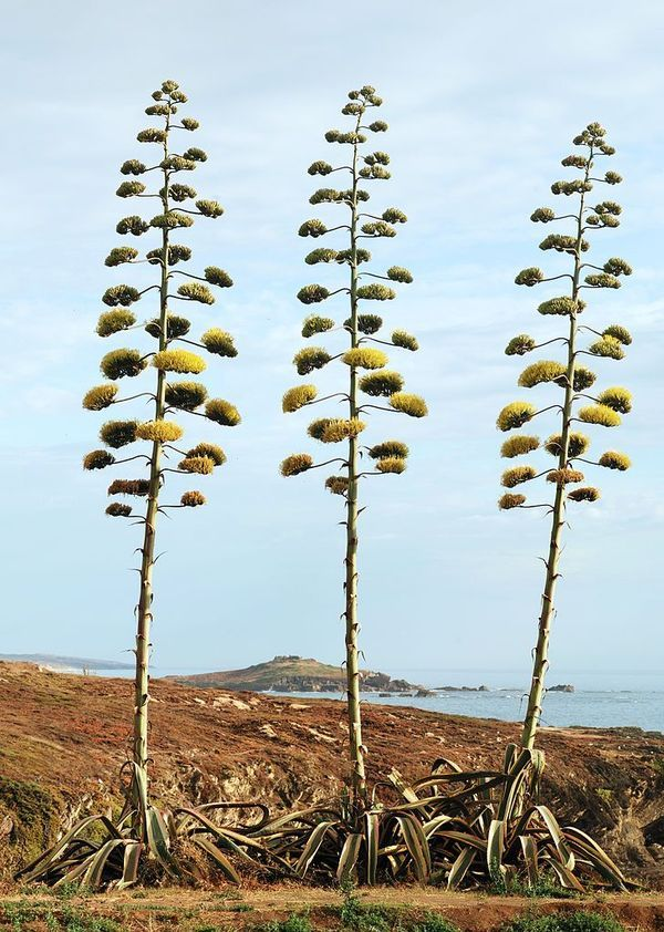 Agave americana in bloom, Porto Covo, Portugal (photograph by Alvesgaspar/Wikimedia)