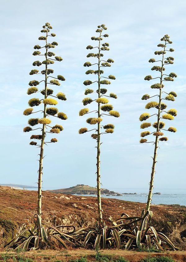 Agave americana in bloom, Porto Covo, Portugal (photograph by Alvesgaspar/Wikimedia)