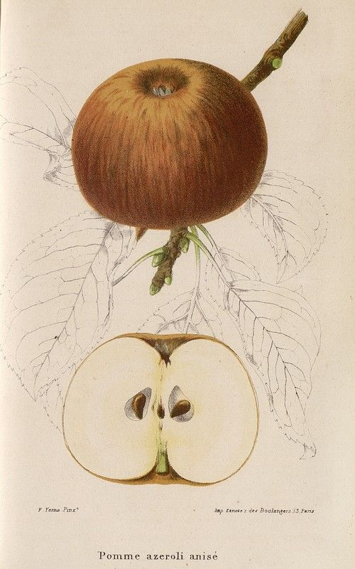 SNHF | Pomme azeroli anisé