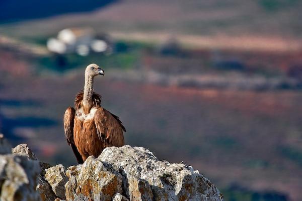 El Peñón de Zaframagón, entre Olvera (Cádiz) y Coripe (Sevilla), acoge una de las colonias de buitres leonados más importantes de Andalucía / The Peñón de Zaframagón, located between Olvera (Cádiz) and Coripe (Sevilla), has one of the colonies of griffon vultures most important in Andalusia