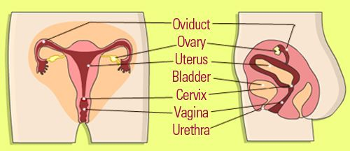parts and functions of the female reproductive system