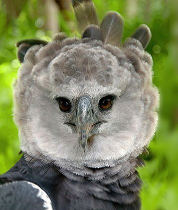 21 best national birds of latin america images on pinterest harpy eagle national bird of panama sciox Gallery