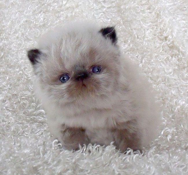 Himalayan kitten!...what a little fluffball!