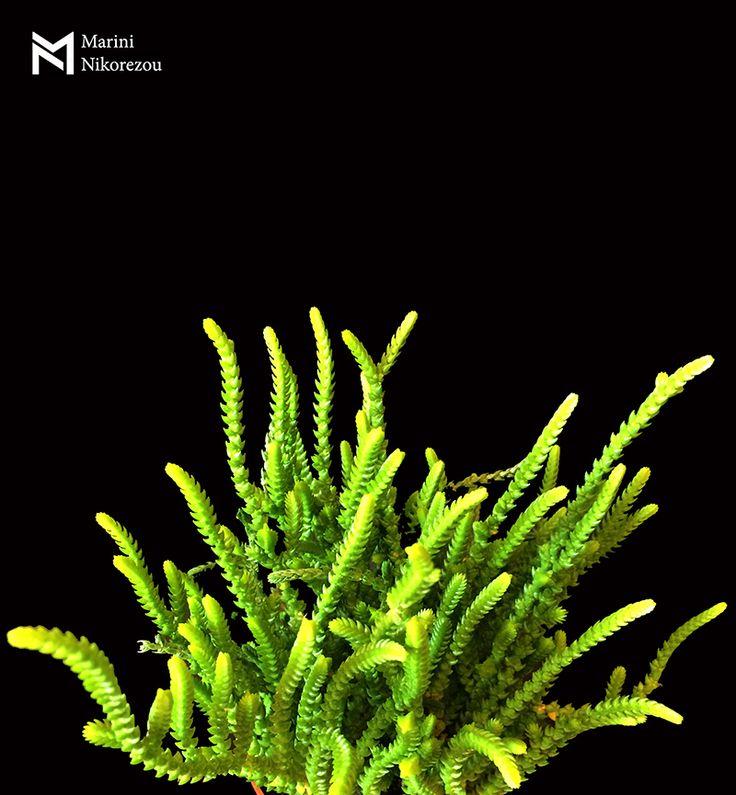 Crassula Princess Pine Succulent