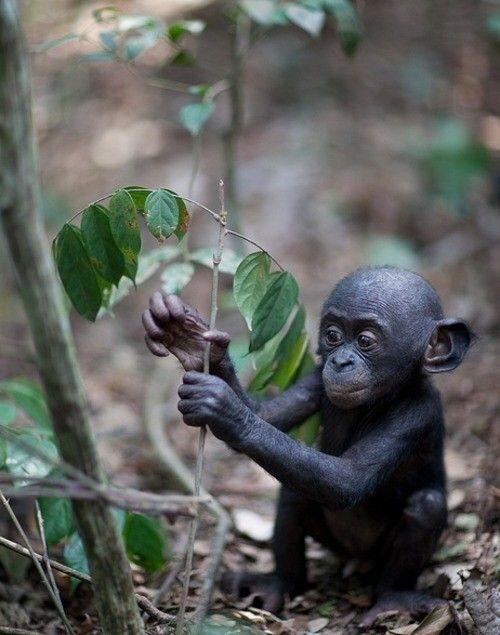 Bonobo infant